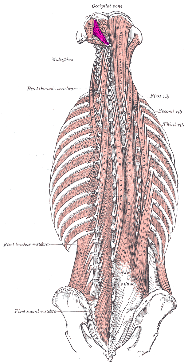 Rectus capitis posterior major muscle - Wikipediam.org