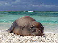 A Hawaiian monk seal rests at French Frigate Shoals.