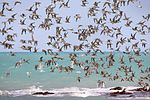 Waders in flight Roebuck Bay.jpg