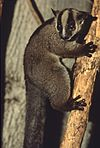 Pale fork-marked lemur
