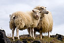 Pair of Icelandic Sheep.jpg
