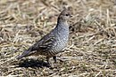 Scaled Quail (Callipepla squamata) (20164244389).jpg