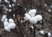 Balls of cotton ready for harvest