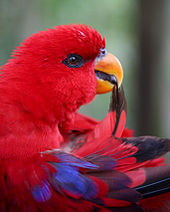 Red parrot with yellow bill and wing feathers in bill