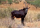 Sable antelope (Hippotragus niger) adult male.jpg