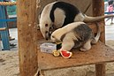 Southern Tamandua and Young - Sunshine international aquarium, Tokyo, Japan.jpg