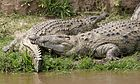 Nile croc couple 690V1510 - Flickr - Lip Kee.jpg