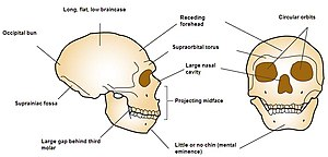 Front and side view diagram of Neanderthal skull emphasizing large circular orbits, no chin, projecting mid face, large nasal cavity, large brow ridge, receding forehead, long flat braincase, occipital bun, suprainiac fossa, and large gap behind the third molar