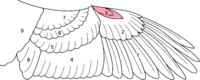 Drawing of the various parts of a bird's wing
