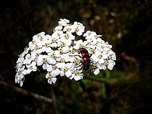 Small white flowers with a red-striped black bug sitting ontop