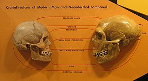 A human skull on the left facing a Neanderthal skull on the right, emphasizing the difference in braincase shape (more protruding in Neanderthal), shorter Neanderthal forehead, more defined brow ridge, larger nasal bone projection, lower cheek bone angulation, less defined chin, and an occipital bun