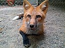 Red Color Russian domesticated Red Fox.jpg