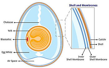 Anatomy of an egg labeled.jpg